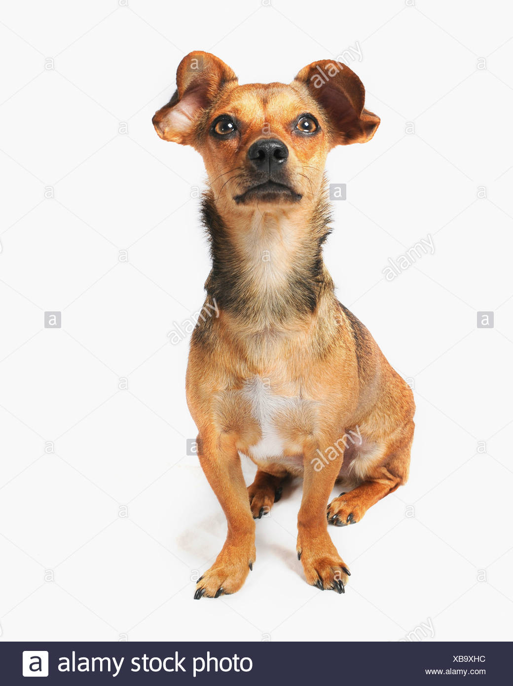 Chiweenie Dog A Crossbreed Of Chihuahua And Dachshund