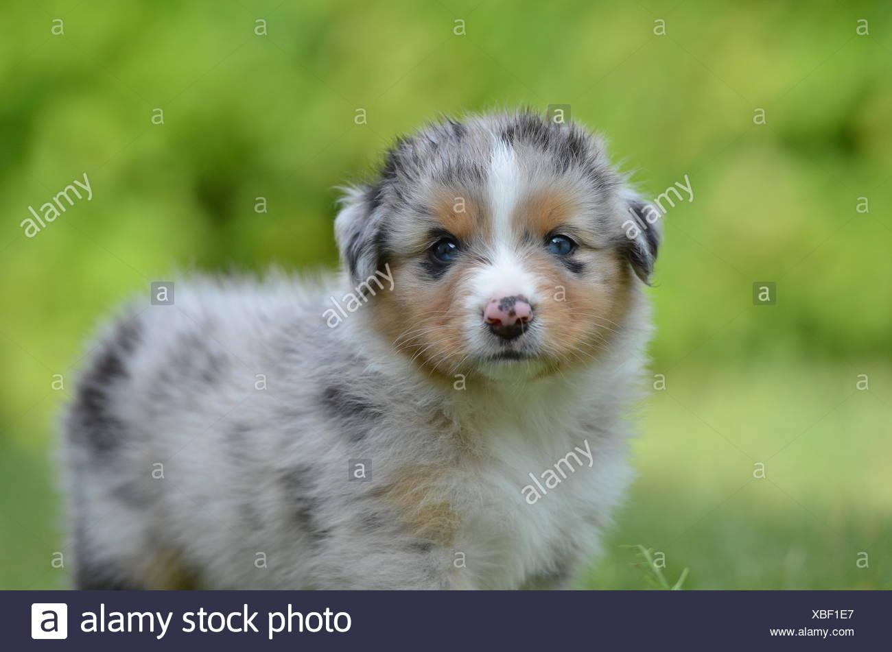 Five Australia Dog Puppy Weeks Puppies Whelps Pupies Ball