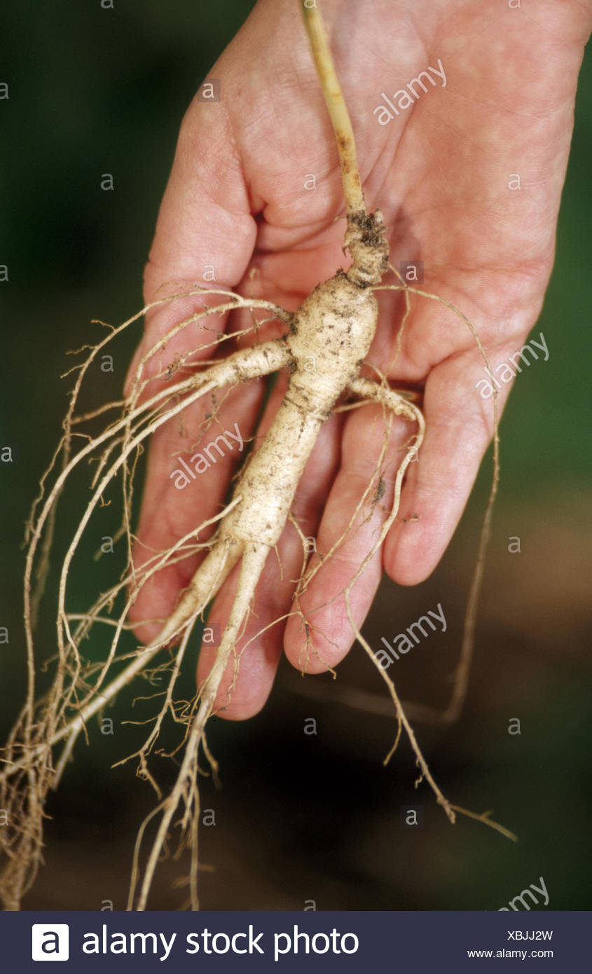 We use the ginseng root for medicinal purposes