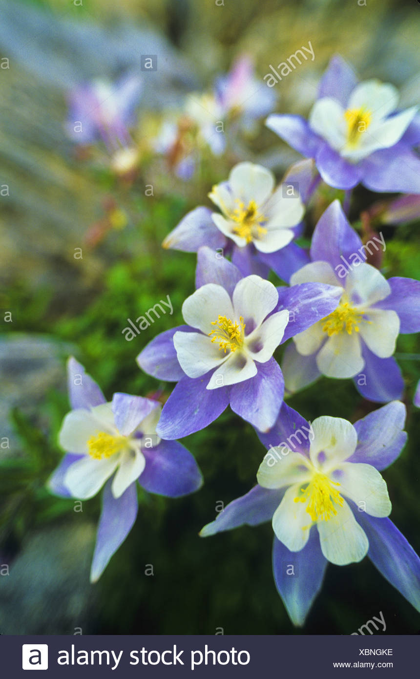 Blue columbine aquilegia coerulea the colorado state flower stock blue columbine aquilegia coerulea the colorado state flower izmirmasajfo