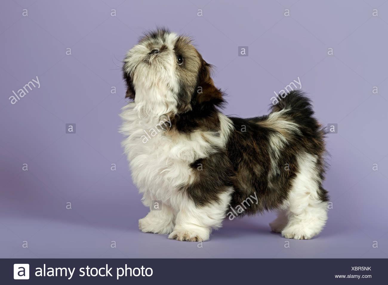 Shih Tzu Puppy 10 Weeks Gold White Stock Photo 282636527 Alamy