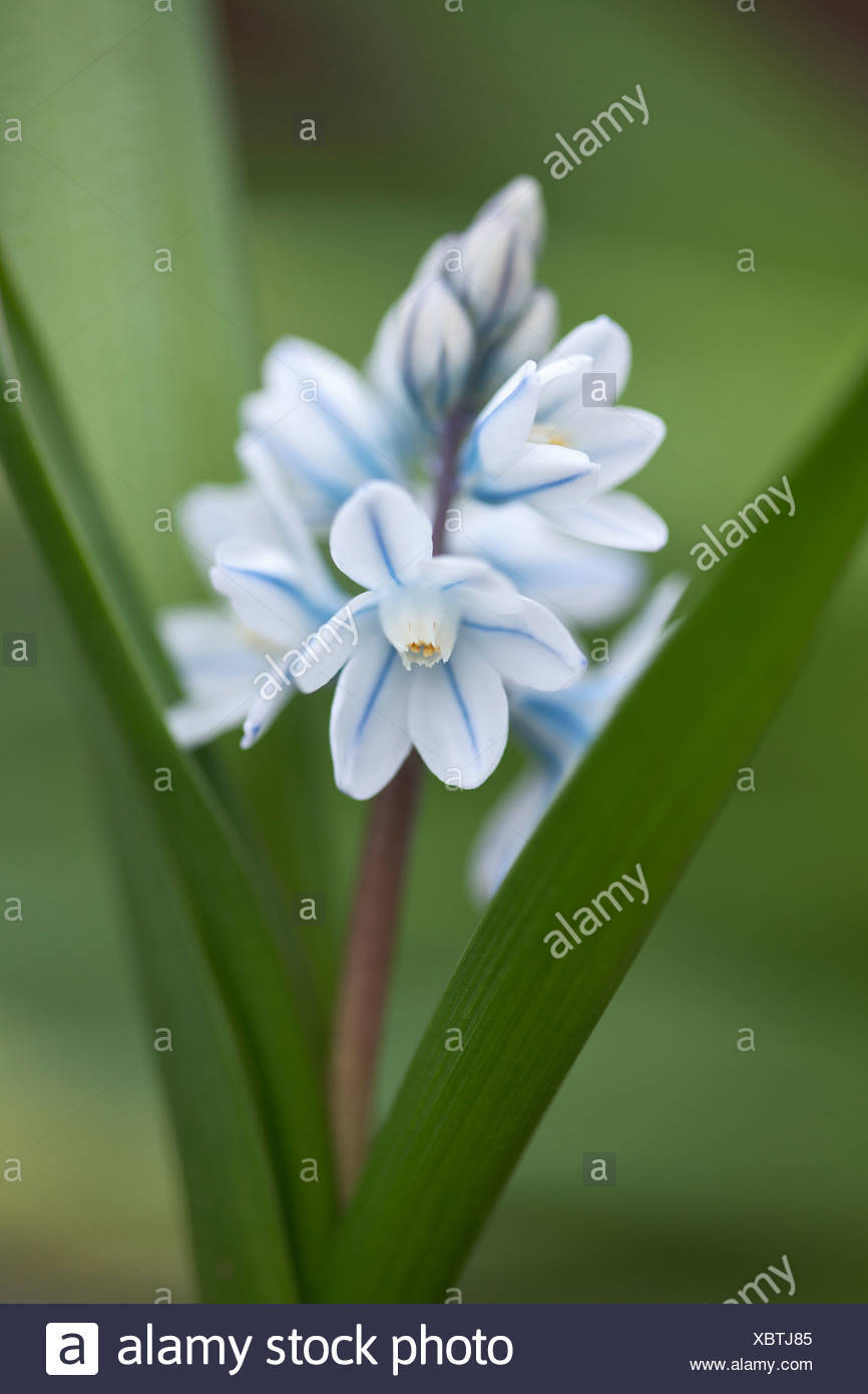 Spike of puschkinia scilloides with star shaped white flowers with spike of puschkinia scilloides with star shaped white flowers with blue line extending along centre of each petal izmirmasajfo