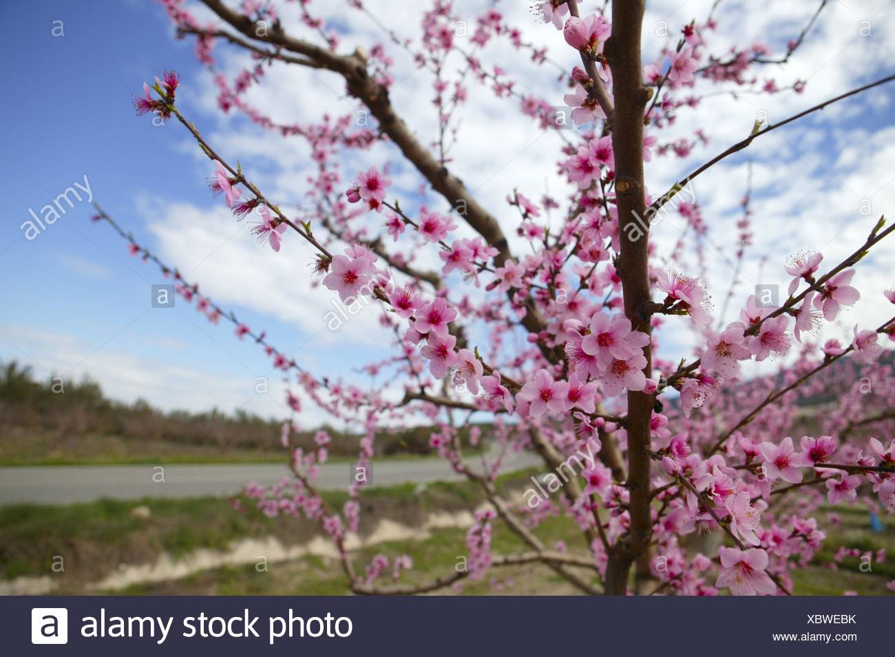 Almond Flower Trees Field In Spring Season Pink White Flowers Stock
