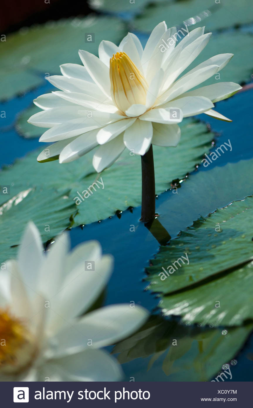 Water lily nymphaea white flower with yellow centre raised on stem white flower with yellow centre raised on stem above water and lily pads with another part seen in mightylinksfo