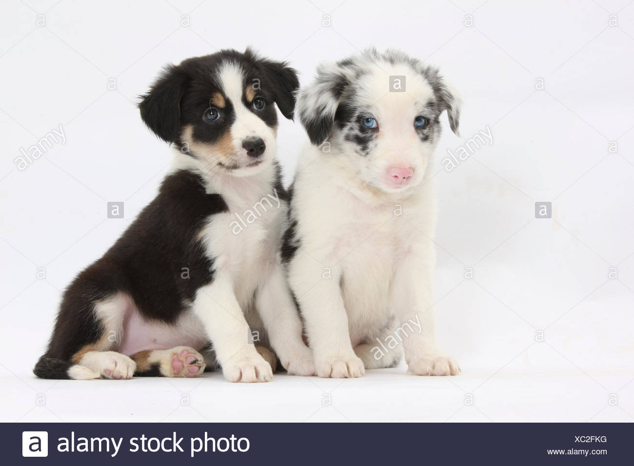Two Border Collie Puppies Sitting Stock Photo 282797972 Alamy