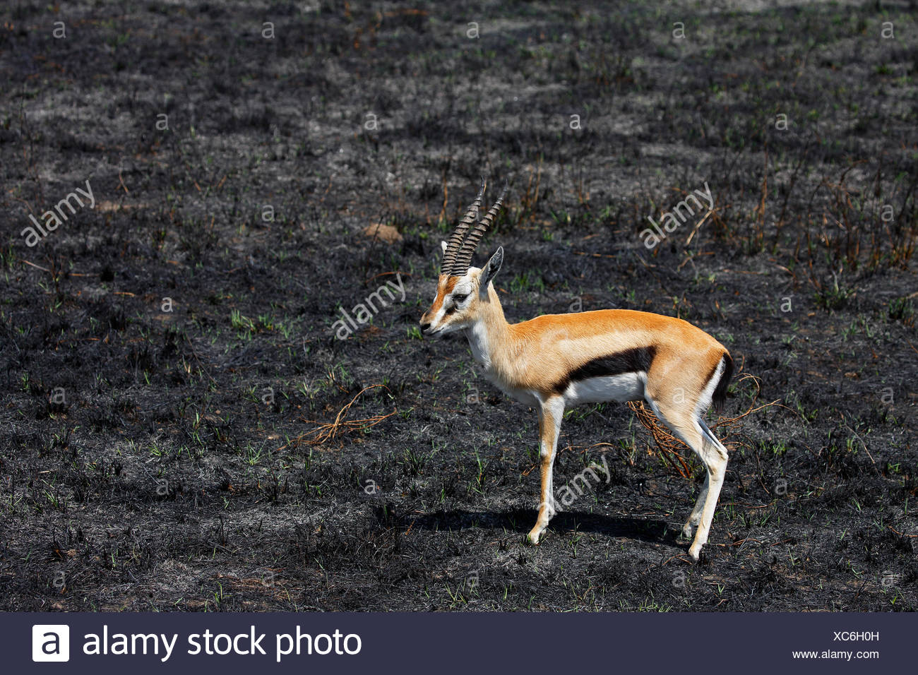Gazelle - the animal of the steppes and deserts 47
