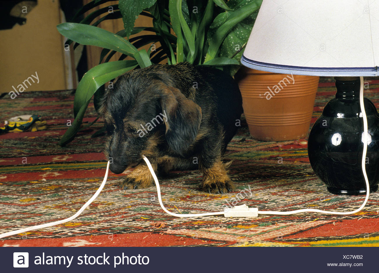 WIRE-HAIRED DACHSHUND CHEWING ELECTRIC CABLE Stock Photo: 282915334 ...