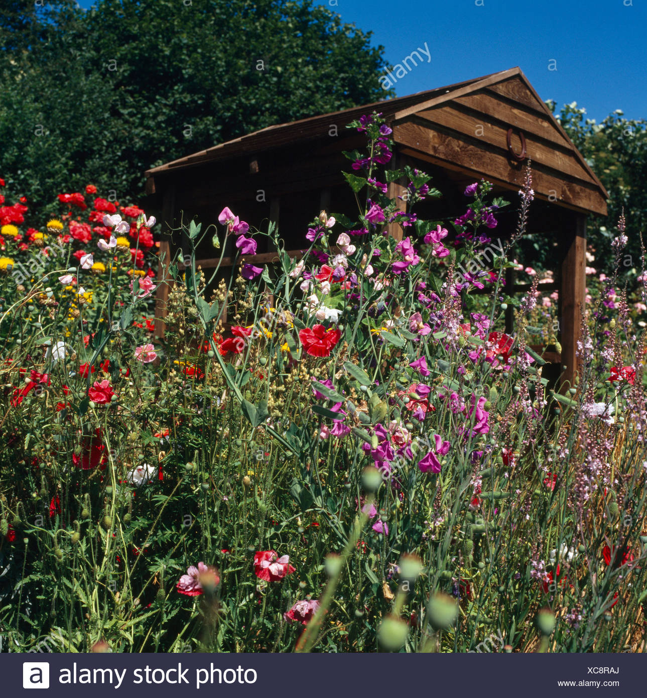 Red summer flowering annuals and pink perennial pea on bank in front red summer flowering annuals and pink perennial pea on bank in front of wooden shed in country garden izmirmasajfo