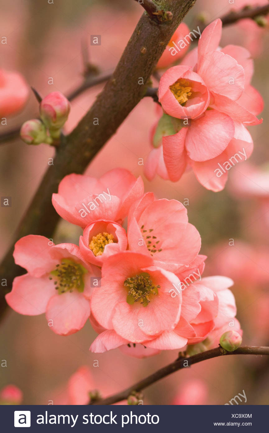 Chaenomeles X Superba Coral Sea Quince Abundant Pink Flowers In
