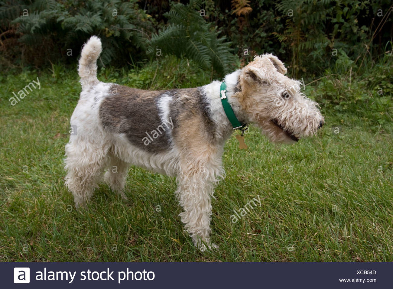 wire haired fox terrier Stock Photo: 282987277 - Alamy