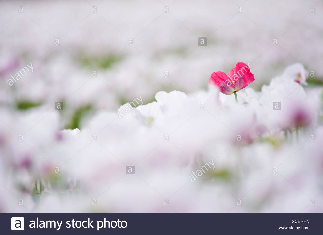 Commercial Poppy Cultivation For Seeds In The Netherlands With One