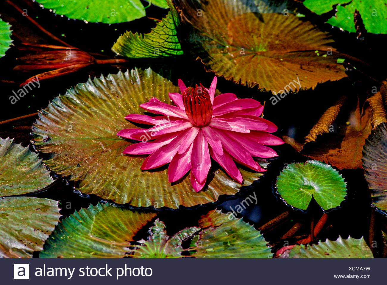 Cape blue water lily nymphaea capensis nymphaea waterlily cape blue water lily nymphaea capensis nymphaea waterlily nymphaeaceae aquatic plant plants flower flowers fl izmirmasajfo