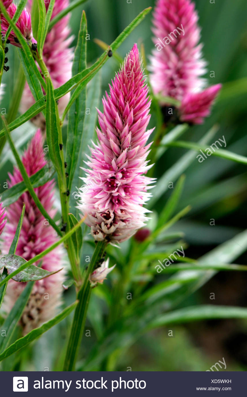 celosia stock photos  u0026 celosia stock images