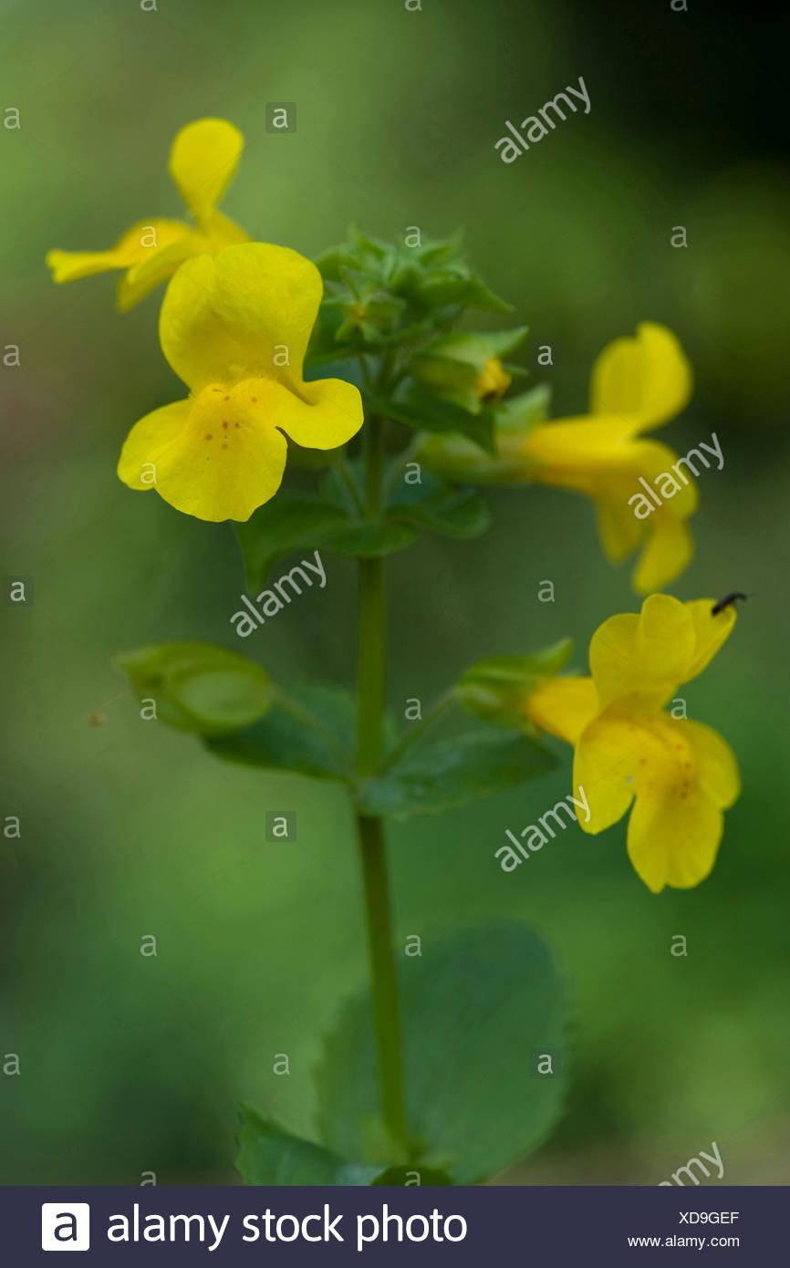 Yellow Monkeyflower Mimulus Guttatus Blooming Germany Stock