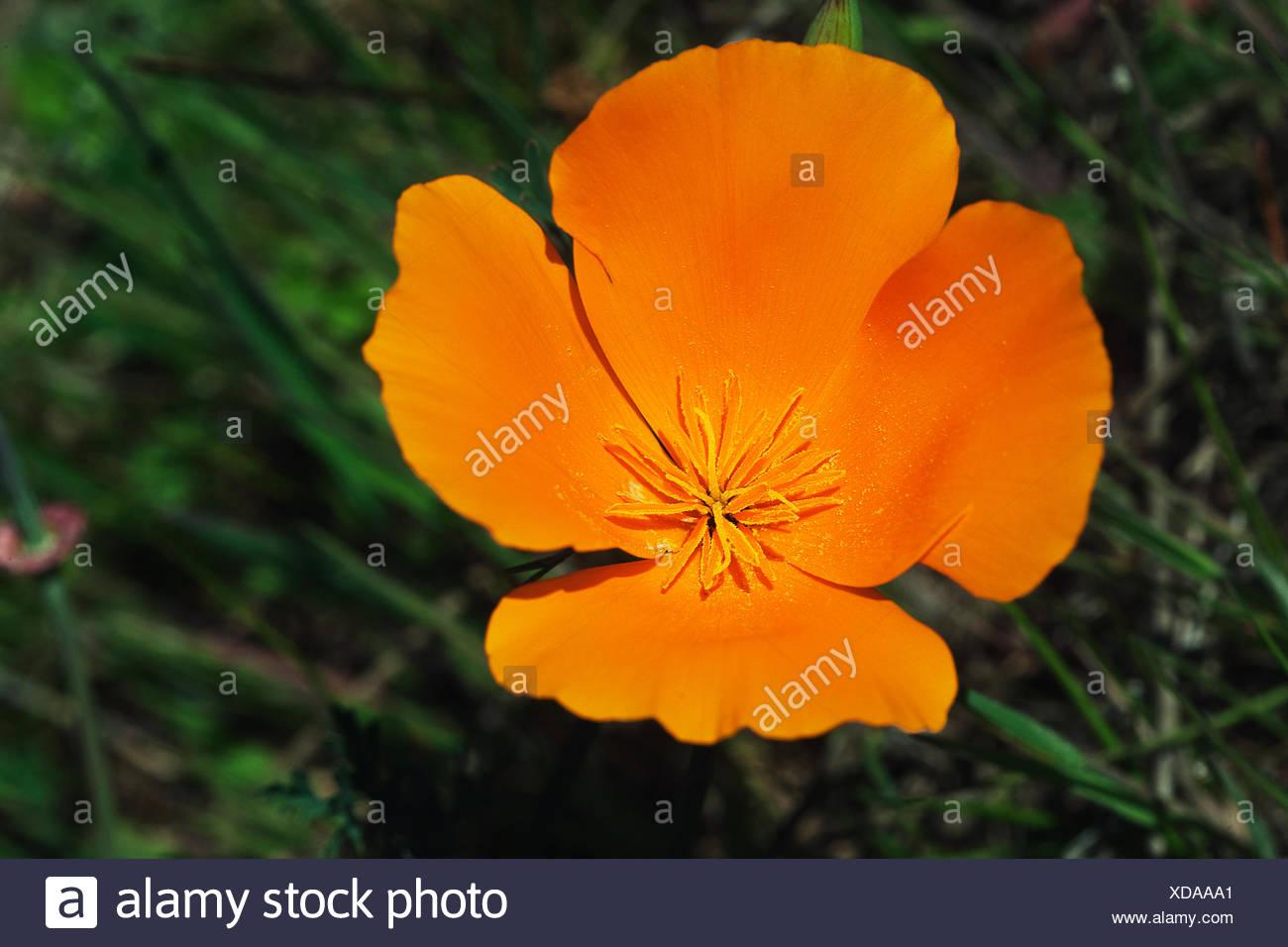 Golden poppy the official state flower of california stock photo golden poppy the official state flower of california mightylinksfo