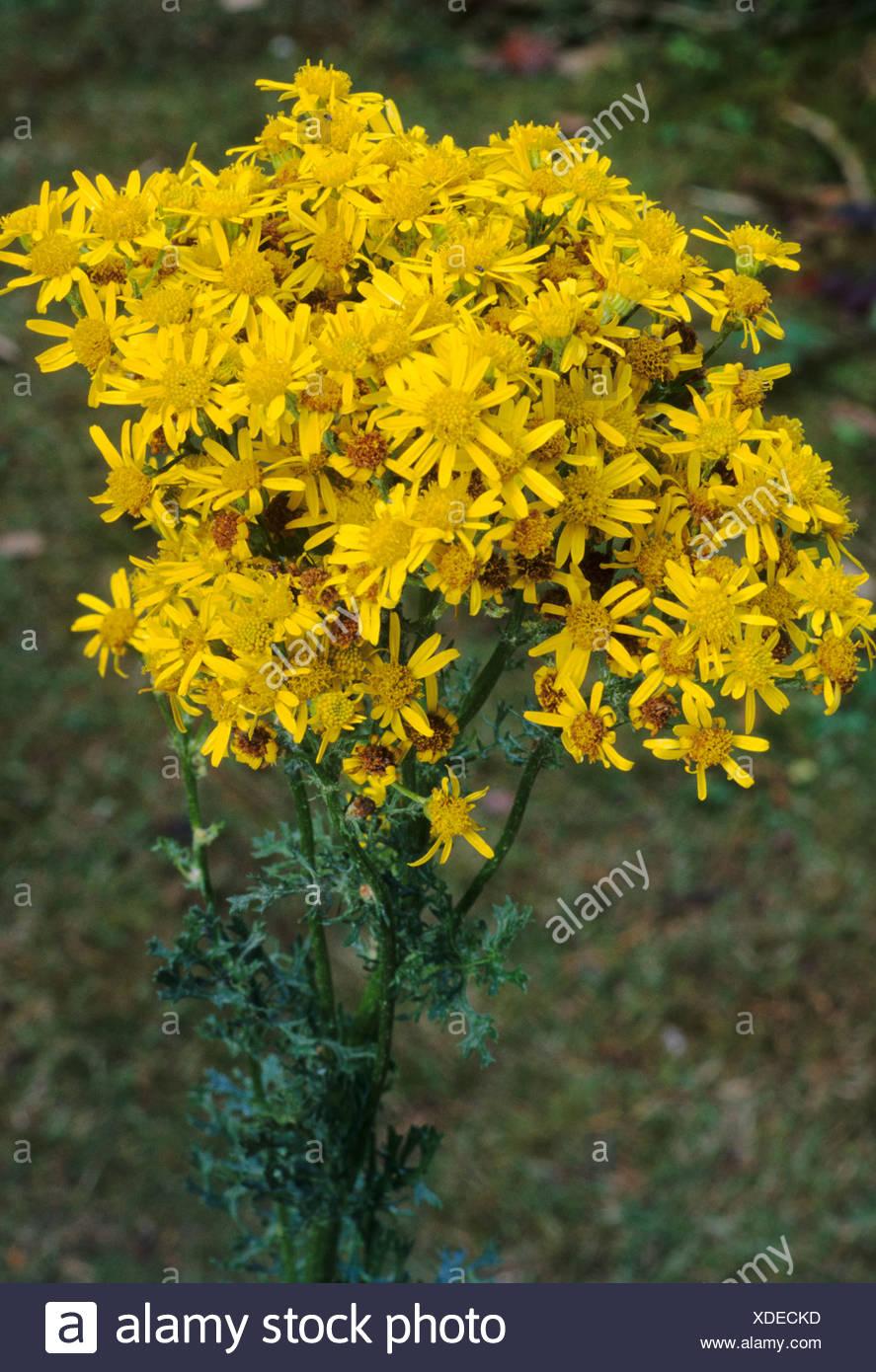 Common Ragwort Senecio Jacobaea Yellow Flower Flowers Poisonous