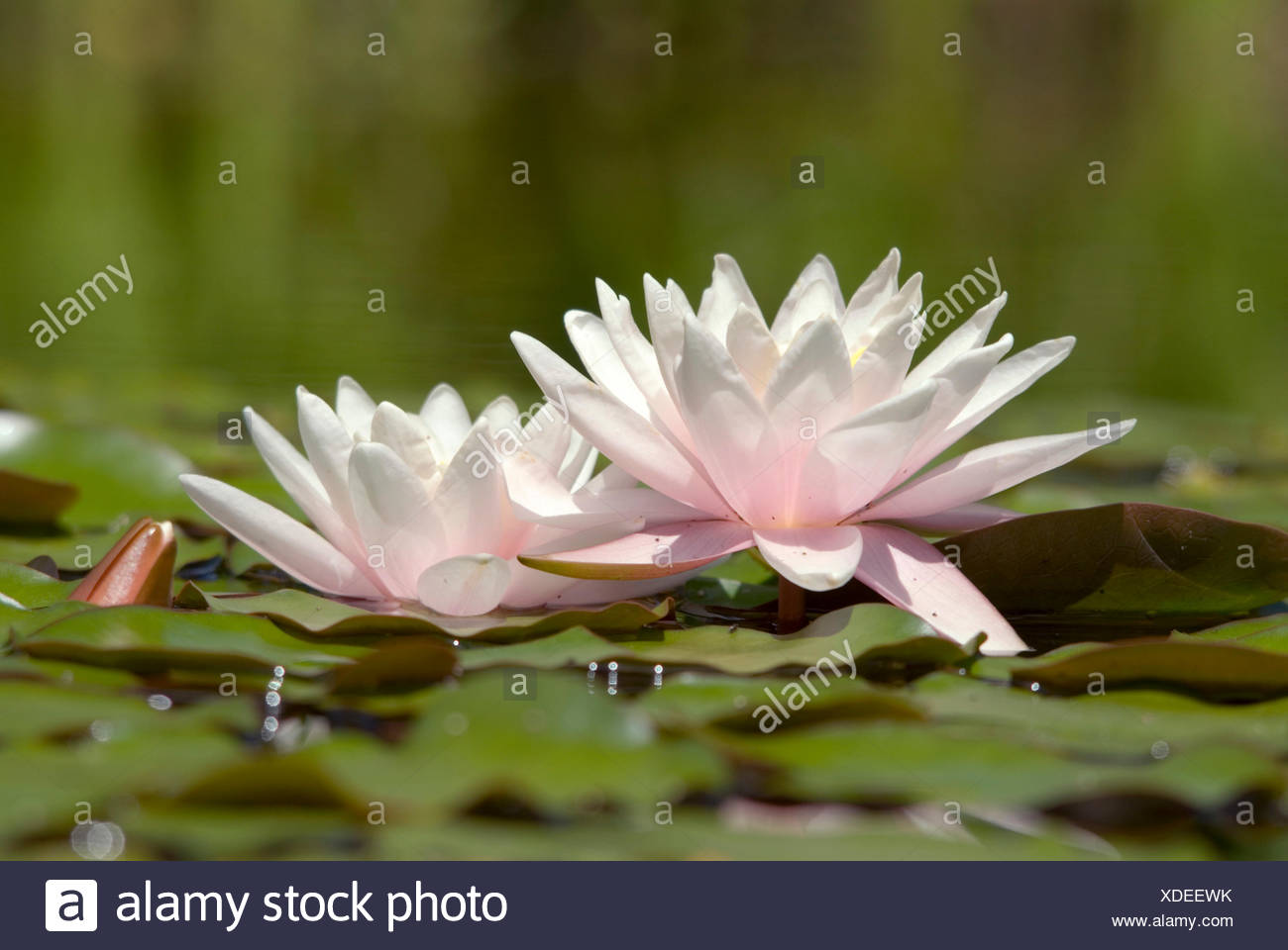 Water Lily Pond Lily Nymphaea Spec Two Flowers Stock Photo