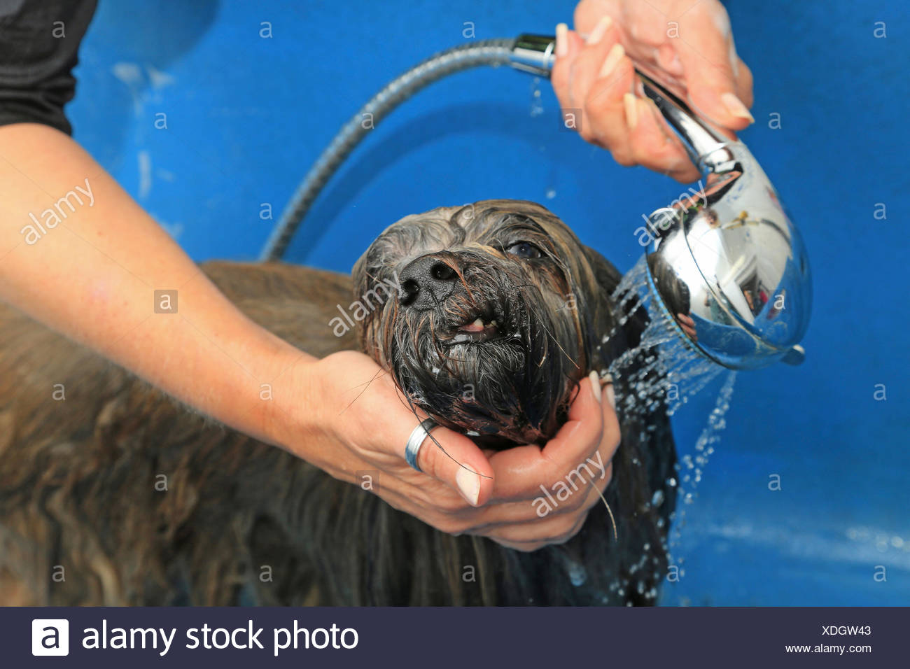 Lhasa Apso At Dog Groomer Spraying With Hand Held Shower Head
