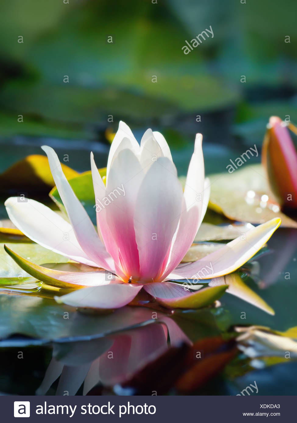 Beautiful Lotus Flower And Background Stock Photo 283783979 Alamy
