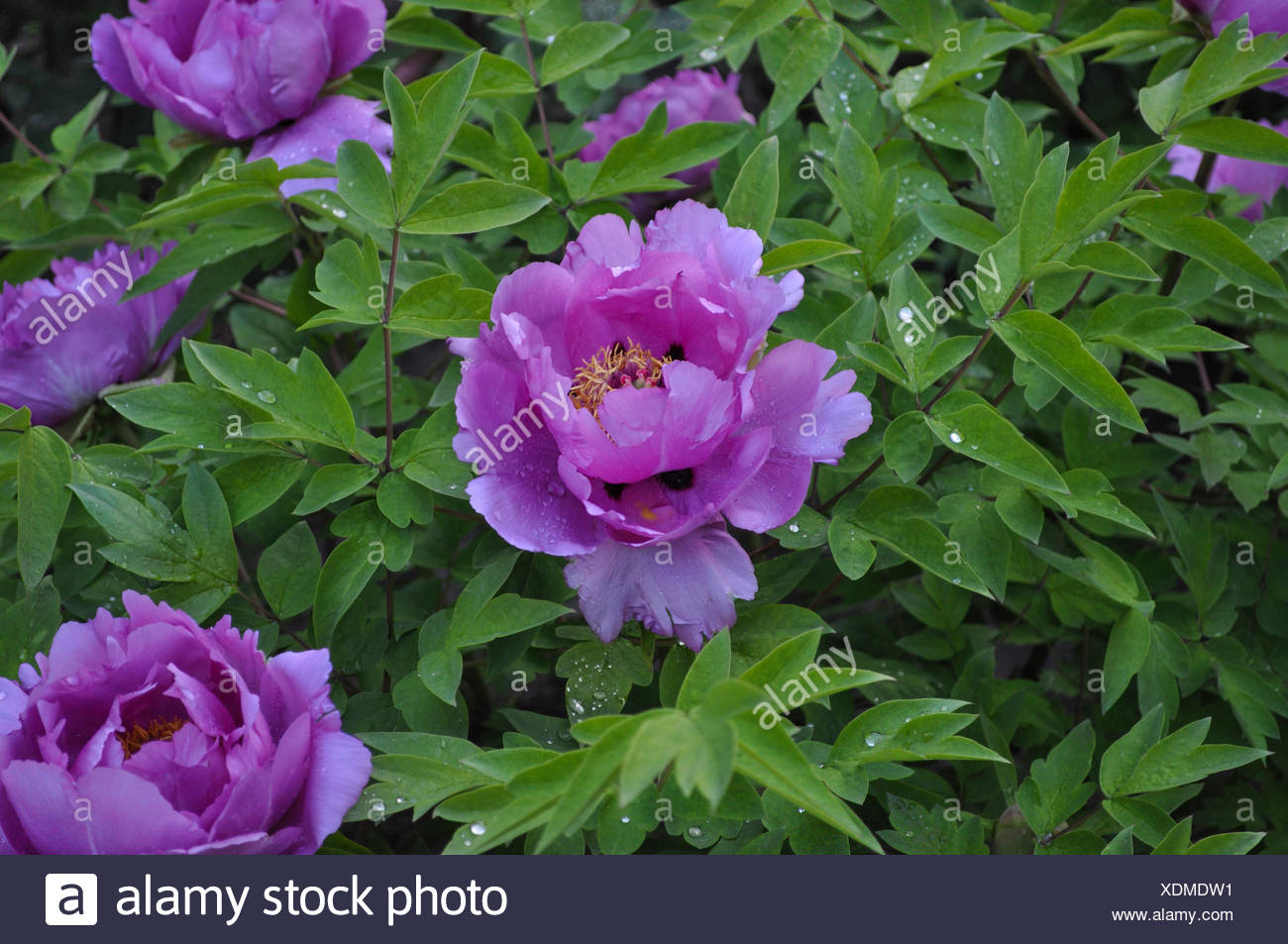 Beautiful Background With Flowers Peonies Stock Photo 283806349 Alamy