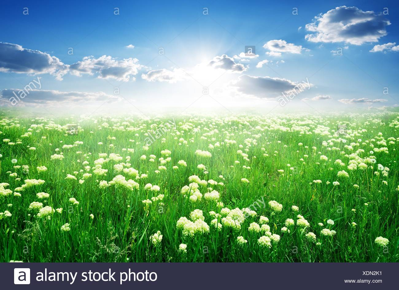 Field Of White Flowers And Green Grass In Spring Stock Photo