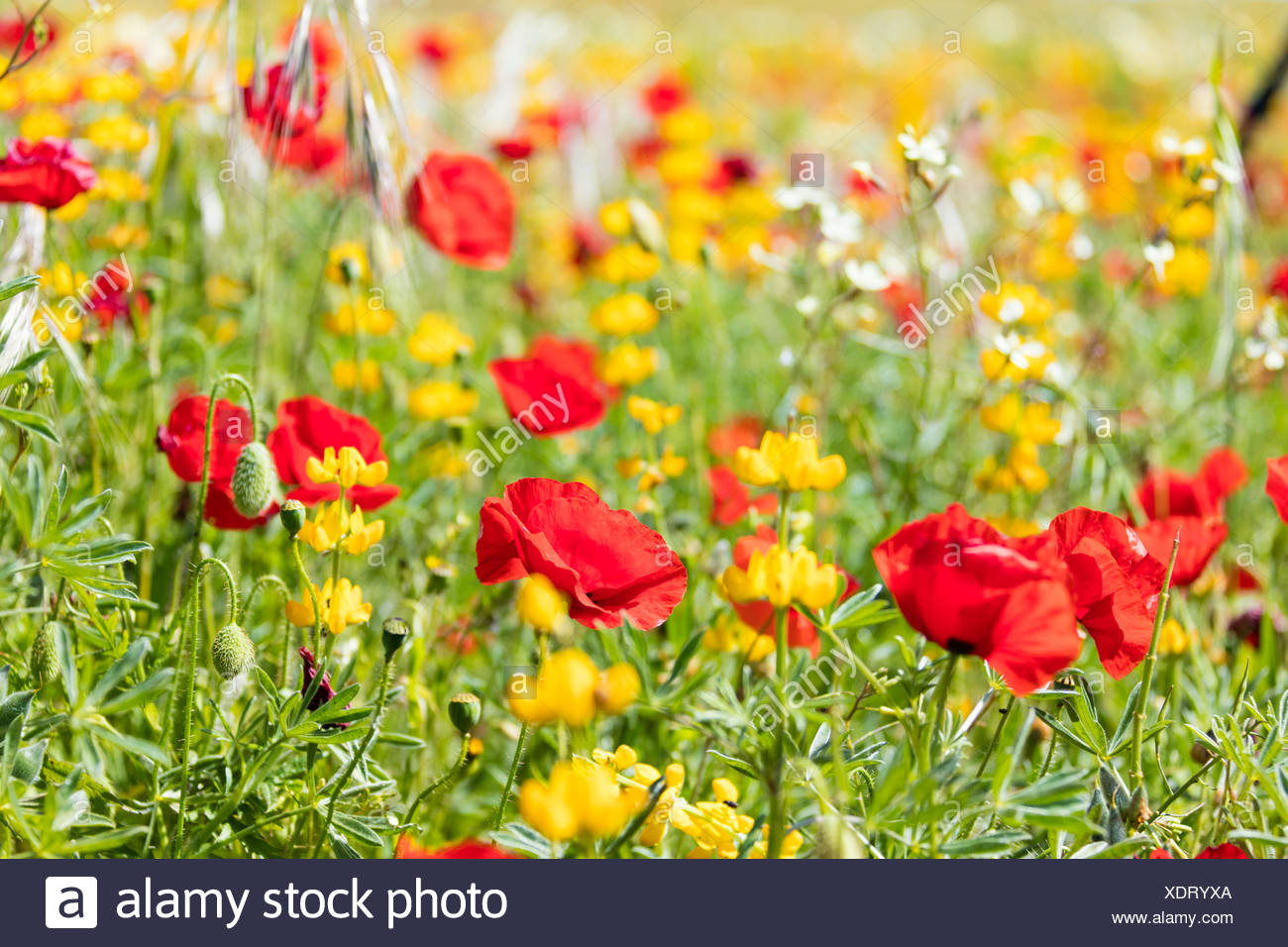 Red Poppies And Yellow Flowers During The Spring Bloom In The Green