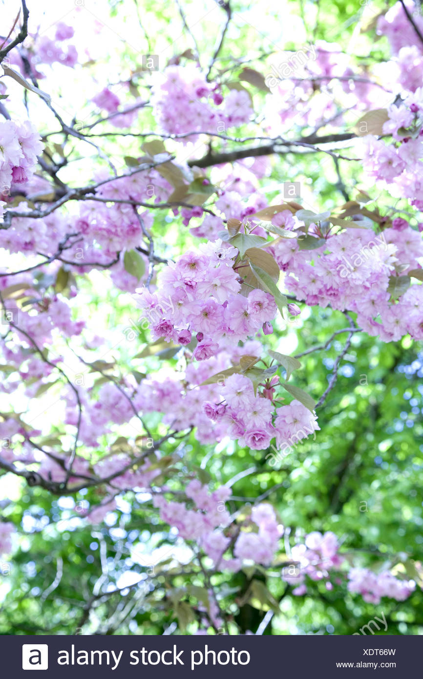 Cherry Tree Blossoms Outdoor Shot Spring Tender Tree Cherry