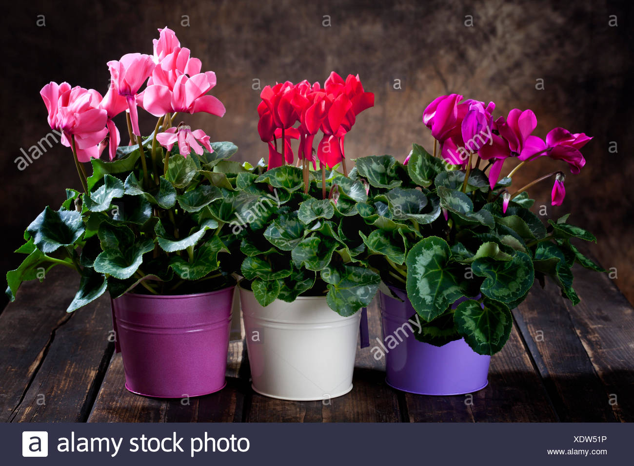 Red Purple And Pink Cyclamen In Flower Pots Stock Photo 283909186