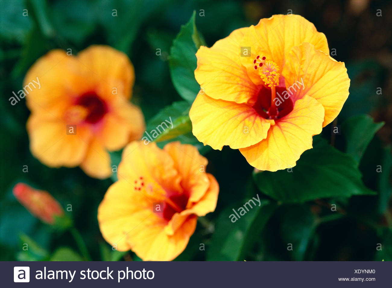 Three Orange Yellow Hibiscus Flower With Dark Red Center On Bush