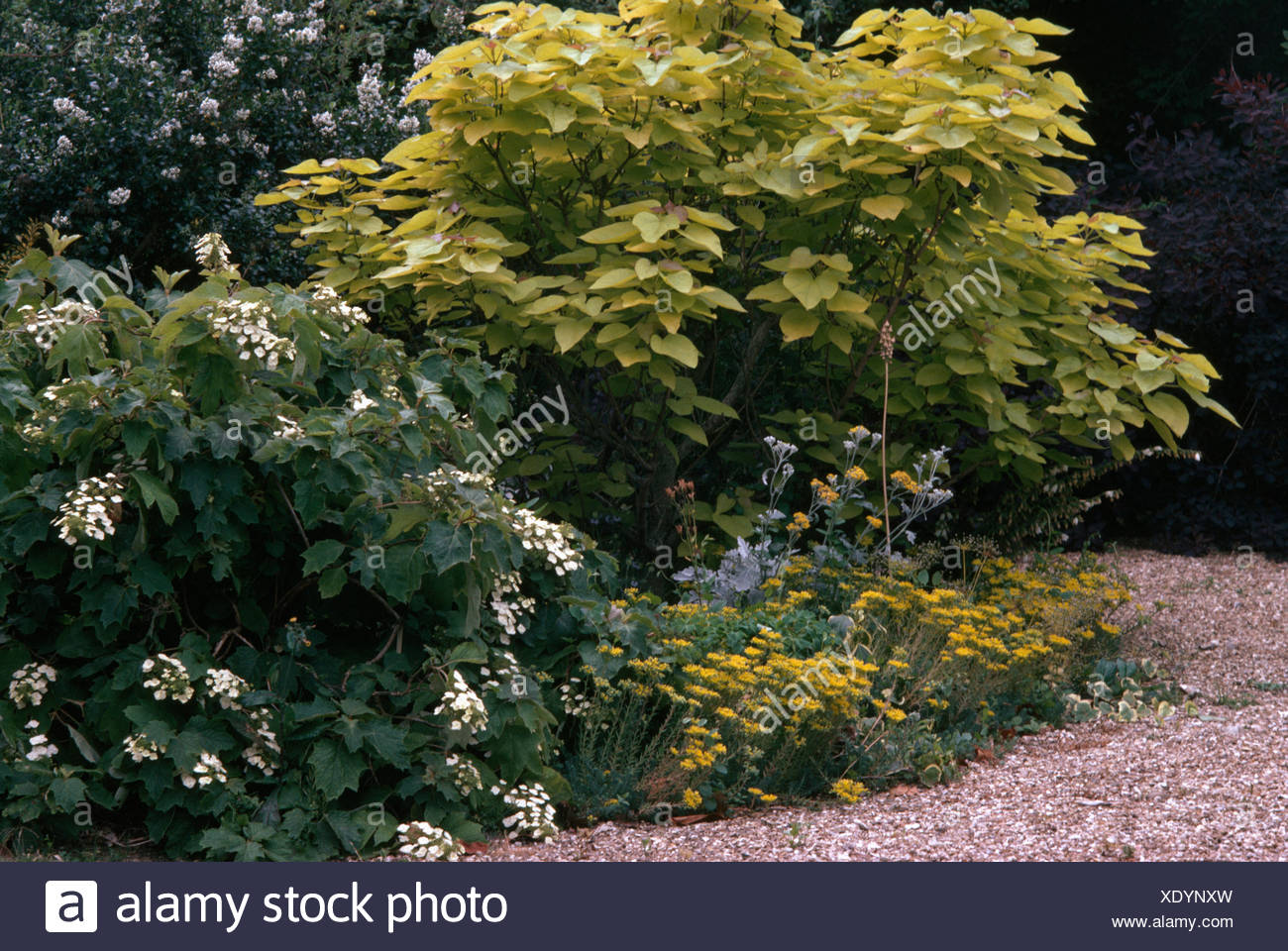Catalpa Tree And A White Flowering Shrub In A Garden Border With Low