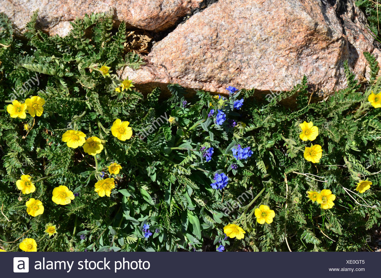 Delicate Yellow And Blue Flowers Grow On Mountain Top Alongside The