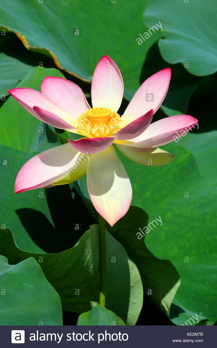 East Indian Lotus Nelumbo Nucifera Flower Stock Photo 284030863