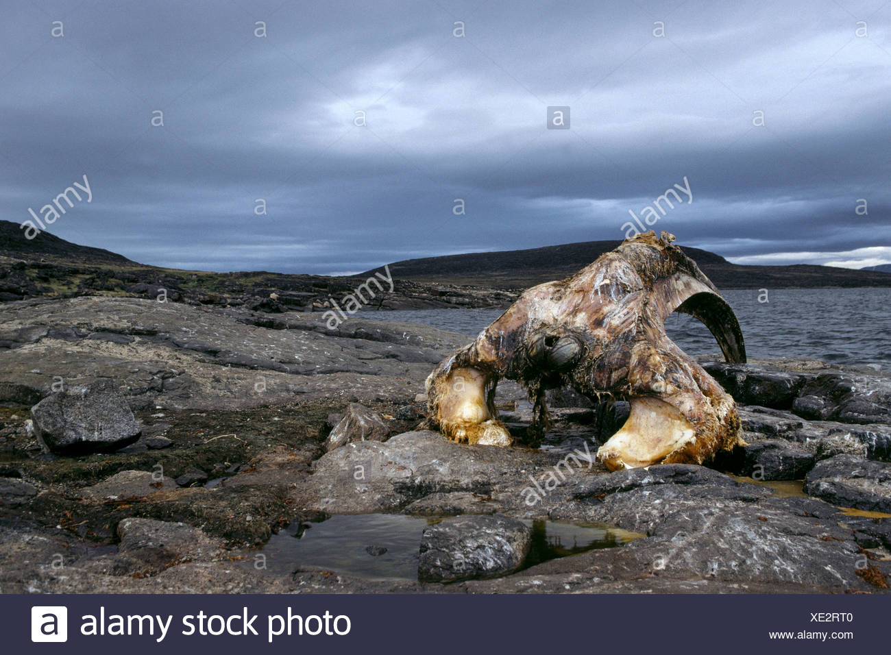 Whale jawbone stock photos whale jawbone stock images alamy the jawbone of a bowhead whale lies on a beach stock image biocorpaavc Image collections