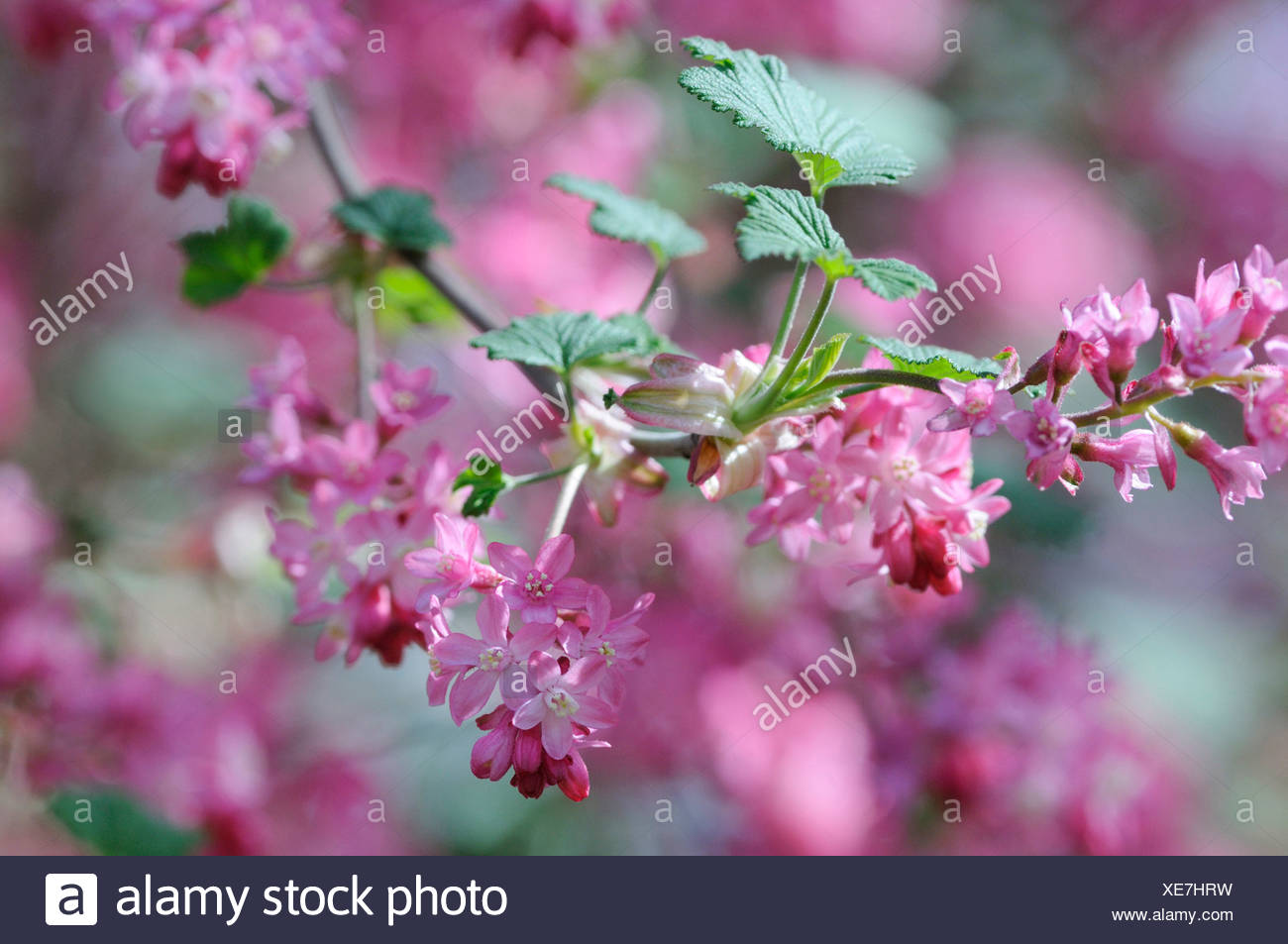 Ribes sanguineum flowering currant in blossom with pink flowers ribes sanguineum flowering currant in blossom with pink flowers mightylinksfo