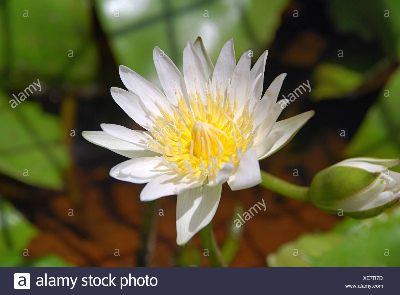 White lotus or nymphaea lotus lotus flower is the national flower white lotus or nymphaea lotus lotus flower is the national flower of india izmirmasajfo