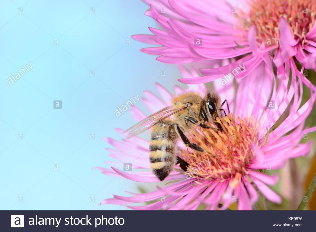 Bee Collectin Pollen On A Pink Aster Flower Stock Photo 284175114
