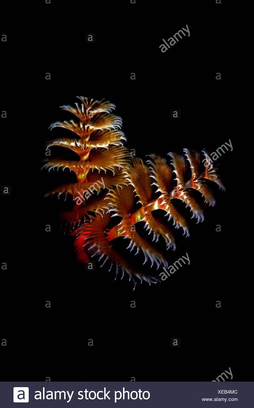 christmas tree worms spirobranchus giganteus on black background cancun mexico