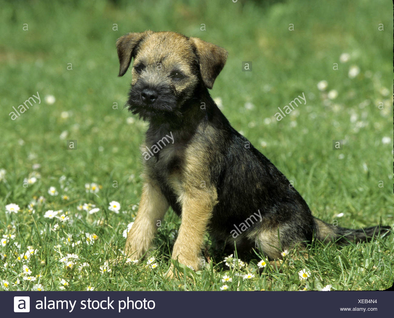 Border Terrier Dog Sitting On Stock Photos  | Border Terrier Puppies For Sale Tennessee