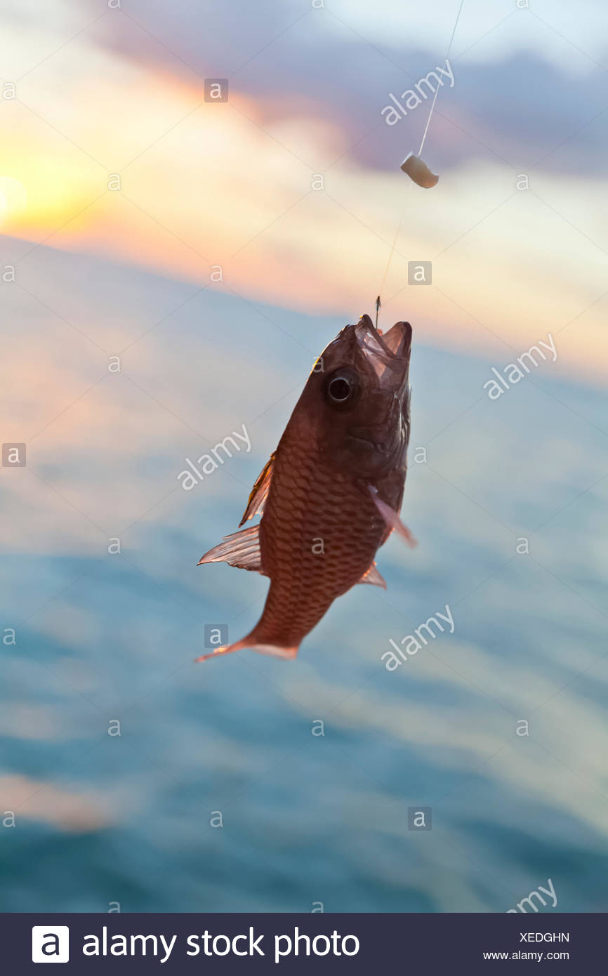 Hawaii tropical fish stock photos hawaii tropical fish for Red saltwater fish