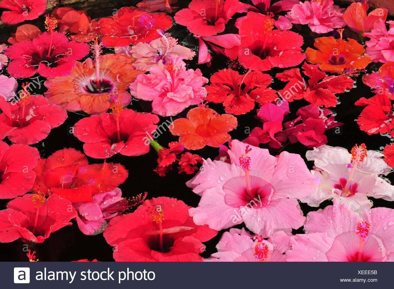 Colorful Hibiscus Flowers Floating On Water Stock Photo 284289527