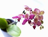 close-up-of-orchid-flower-petals-cw0jrx.