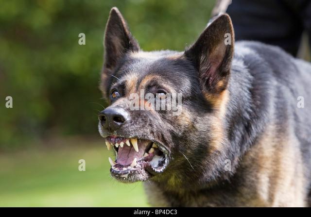 german shepherd growling - photo #2