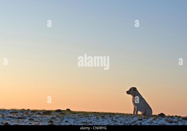 labrador retriever canis lupus f familiaris sitting alone on snow covered