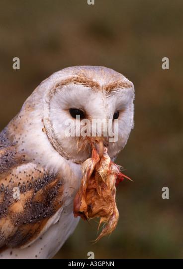 Barn owl eating stock photos barn owl eating stock for Food bar owl