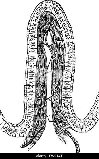 intestinal villus stock photos & intestinal villus stock images, Human Body