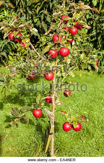 Small apple tree stock photos small apple tree stock for Small tree varieties