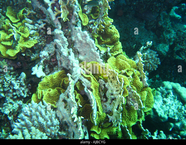 Fire Coral Stock Photos & Fire Coral Stock Images - Alamy
