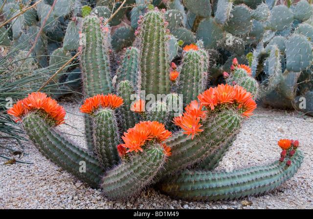 Claret Cup Cactus Desert Botanical Garden Phoenix Arizona USA   Stock Image