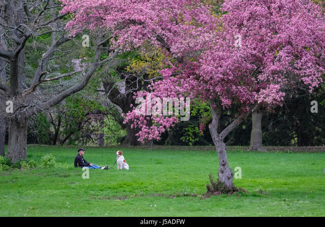 Flowering crabapple tree stock photos flowering crabapple tree middle aged man and dog sitting on green grass flowering crabapple tree park setting mightylinksfo