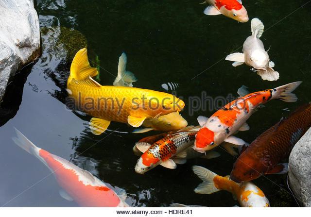 Koi pond japanese friendship garden stock photos koi for Japanese garden san jose koi fish